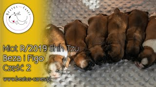 Miot R/2019 Shih Tzu - Beza i Figo - Część 2 - #beatus_canes