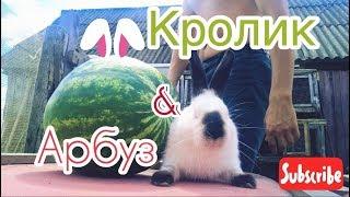 Арбуз. Можно ли Кормить Кролика Арбузом | Дневник Кроликовода №27 | Арболитич