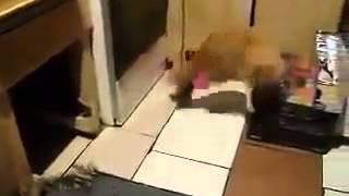 Rat chasing a cat