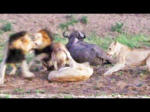 The Love Doctors - Lions Fight Over Downed Buffalo, Buffalo Gets Up And Walks Away!