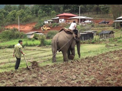 ชาวกะเหรี่ยง อ.อมก๋อยใช้ช้างไถนาแทนควาย