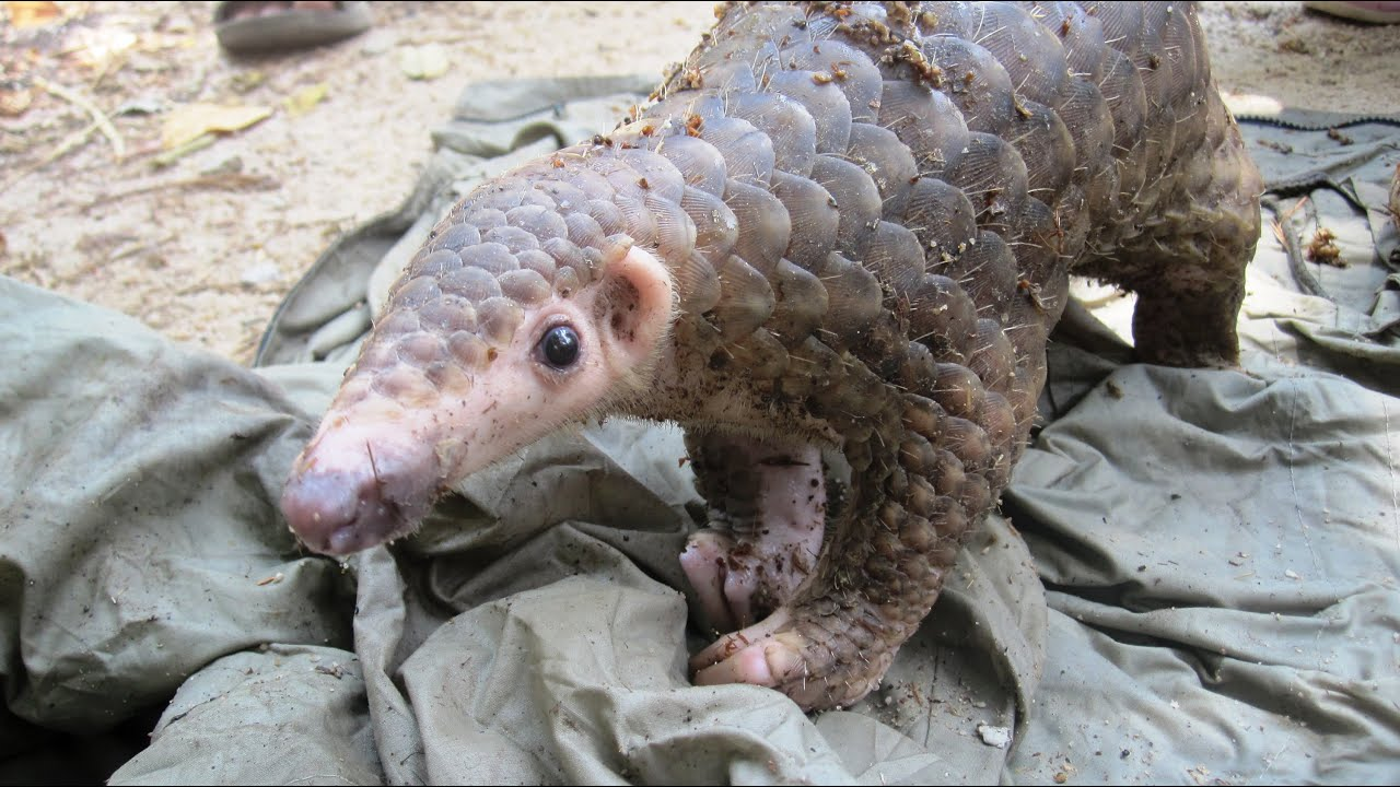 the most trafficked mammal