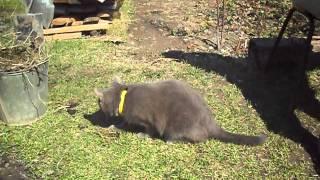 Кот грызет валерьяну