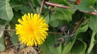 DIENTE DE LEÓN: Taraxacum dens-leonis (www.riomoros.com)