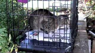 Feral Cat Wound Cleaning