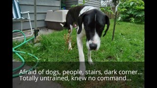 Fearful Anxious Great Dane Puppy Rehab | Perfect Companion K9