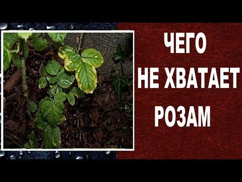 Чего не хватает розам.  О чем говорят больные листья роз