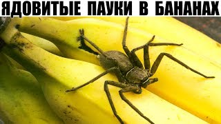 в бананах из супермаркета может прятаться смертельно опасный паук!!