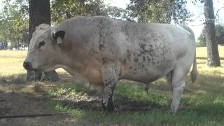 British White Bull In Texas Cooling Himself Off Over A Water Leak
