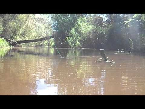 Fly fishing for Smallmouth Bass in a small stream, Cape Town, RSA