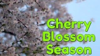 Video Cherry Blossoms Make You Do Awful Korean Drama Kisses download MP3, 3GP, MP4, WEBM, AVI, FLV Maret 2018