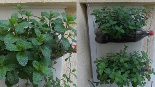How to Grow Mint-Bottle Garden
