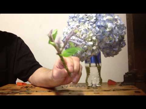 Propagating hydrangeas from florist arangemeant