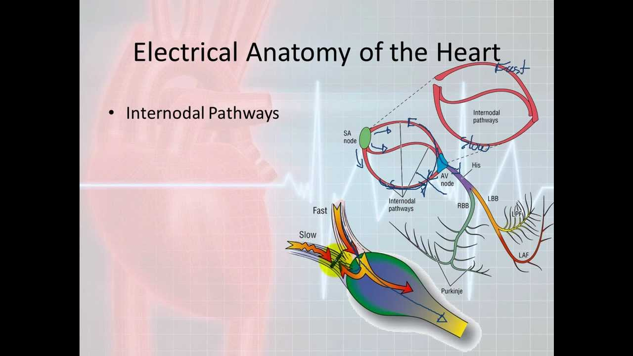 Basic Electrophysiology Part 3 Electrical Anatomy Part 1 Youtube