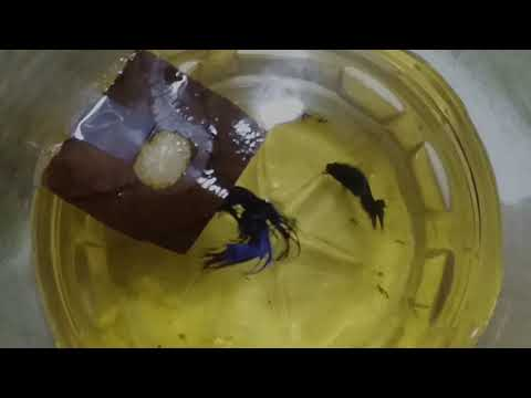 How to Breed Betta Fish and Raising Betta fry Successfully (SECRET METHOD REVEALED)