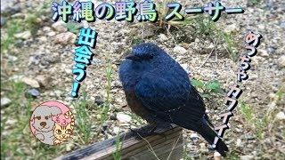 イソヒヨドリの雄 沖縄ではスーサーなど呼ばれている鳥   バス停でパン...