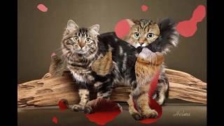 ПОРОДА КОШЕК Американский бобтейл (англ. american bobtail cat)
