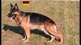 Линька шерсти у немецкой овчарки