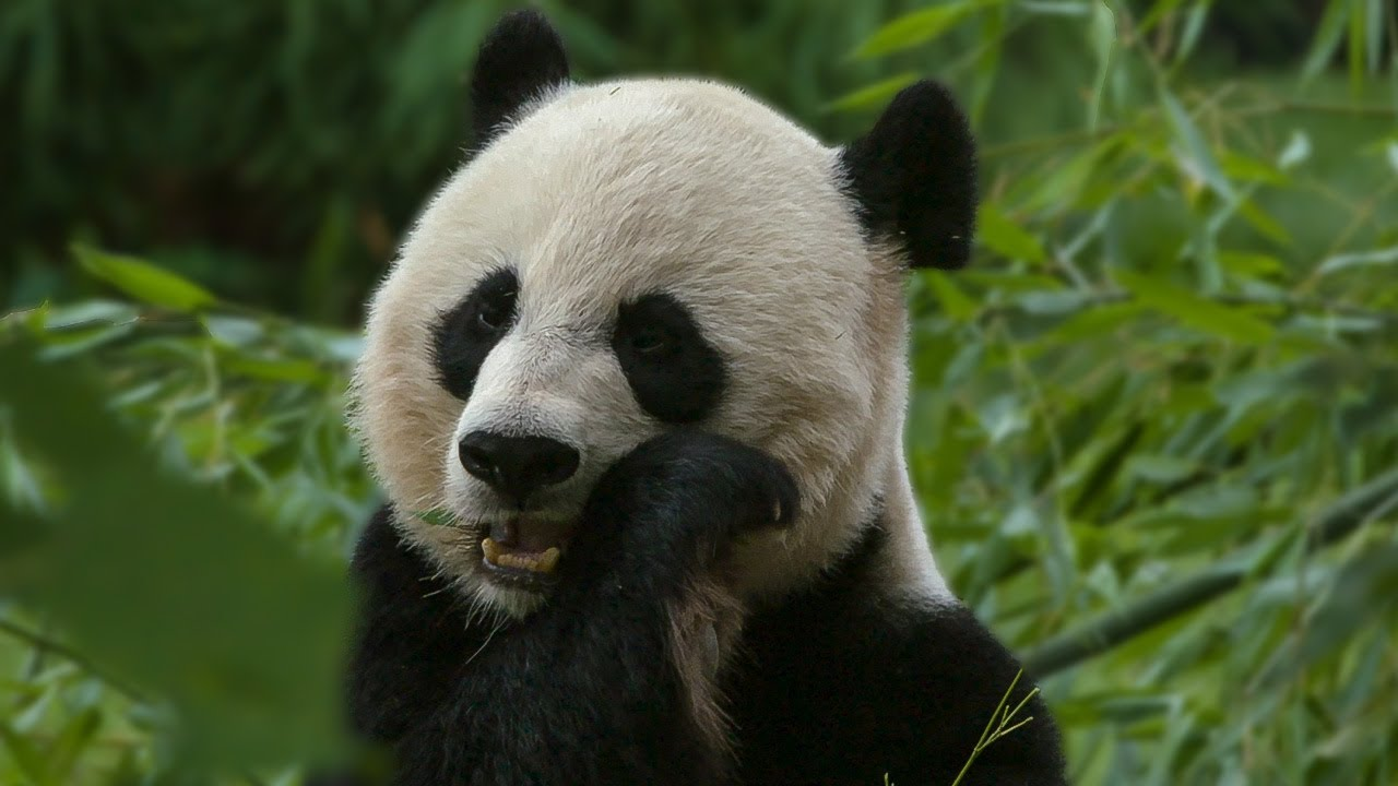 Why do Pandas have such Large Heads? | Earth Unplugged