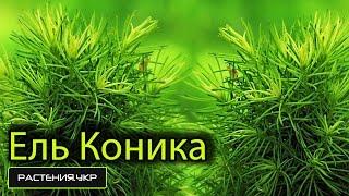 видео горная сосна посадка и уход в открытом грунте, выращивание и размножение сорта, фото в ландшафтном дизайне