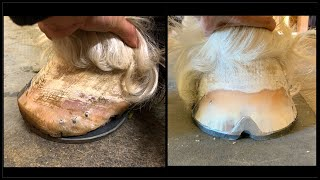 Apollo the Shire get his feet Redone after a terrible shoeing job