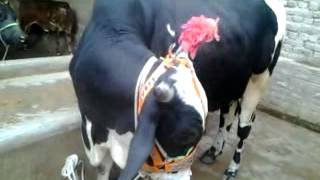 qurbani ki Cow for sale, AAS Cattle Farm Liaquat Colony, Hyderabad, sindh, 03342614010