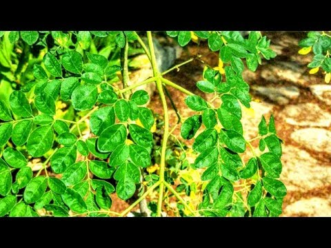 Moroccan Garden Of Eden, MORINGA TREES Can Keep You ALIVE In A Natural Disaster (Part 4 of 4)
