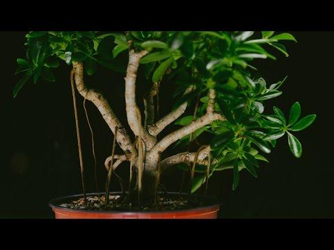 Dwarf Umbrella Tree Schefflera Arboricola Indoor Bonsai Repot And Prune April 2017 Youtube