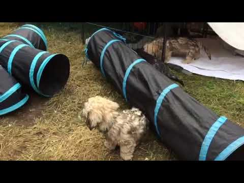 Tunnel Fun 2 Dandie Dinmont Terrier Puppies Siwop