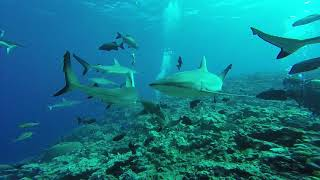 Yap Island Micronesia Shark feeding ミクロネシア ヤップ島 サメ群れ ヤップ島 検索動画 23