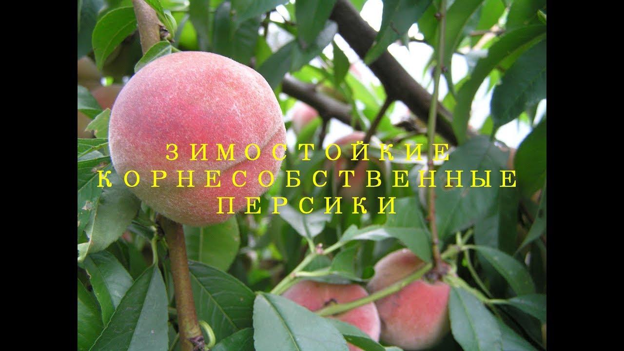 Купить саженцы персика в украине в интернет магазине питомника « персиковый сад» недорого. Широкий ассортимент, выгодные цены при покупке оптом, доставка наложенным платежом по украине. Звоните: 067 5393582.