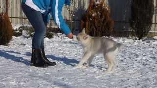 Сибирский хаски щенок / Siberian Husky Puppy - Armani Secret Kingdom Navjord