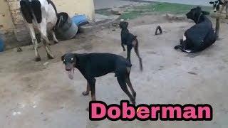 Doberman puppy for sale  || dogy shogy || || ganesh dog world ||