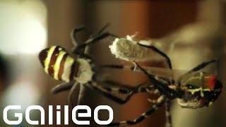 Samurai-Spinnen | Galileo