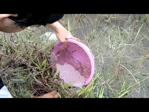 ช้อนปลากัดป่าภาคใต้สไตล์กากๆ2 (Catch Betta imbelis)