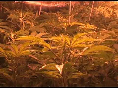 Police find factory of weed in Poland