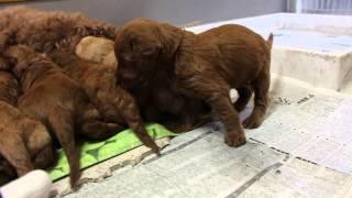 オーストラリアン・ラブラドゥードルのグローリーの子供達(生まれて3週...