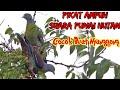 Pikat Suara Burung Punai Cocok Buat Nyanggong Di Jamin Ampuh  Mp3 - Mp4 Download