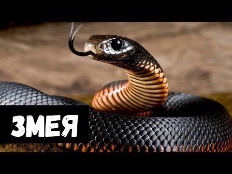 Вопрос: Что будет со змеей, если если ее укусит другая змея?