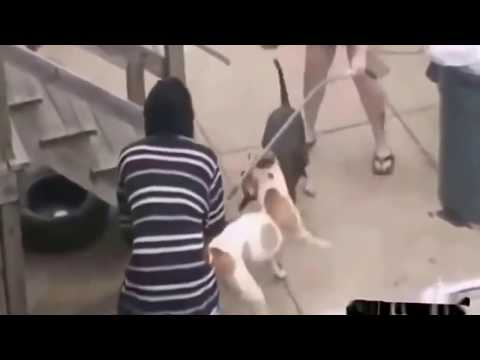 Pitbull dog attack other dogs 2018