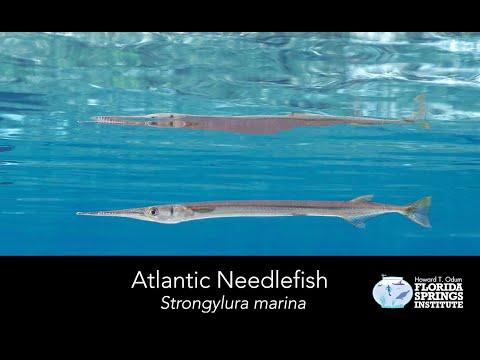 Springs Field Guide - Atlantic Needlefish