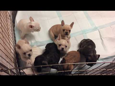 French Bulldog pups grow so fast