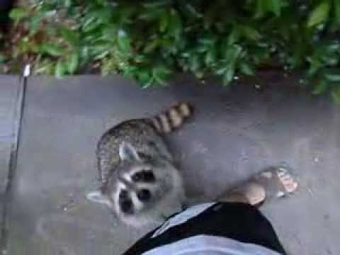 Begging Racoon lets the man who feeds him, pet him as a form of payment.  (o,O)