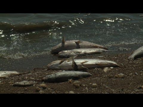 В Новомарьевском лимане погибла рыба.