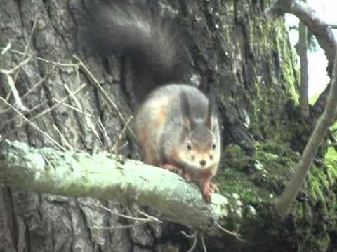 Red Squirrel In An Old Oak Tree