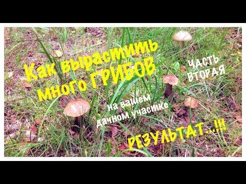 РЕЗУЛЬТАТ...!!! Как вырастить много грибов на дачном участке.  Сентябрь 2018. How to grow MUSHROOMS.