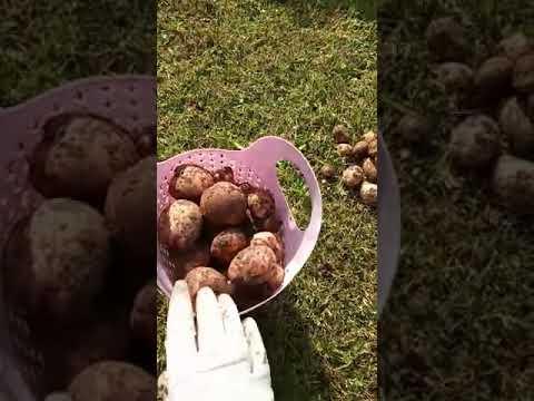 Картофель сорт Жуковский!