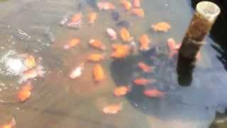 Goldfish Farm in China