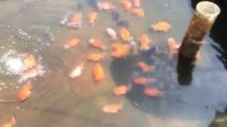 Goldfish Farm in China