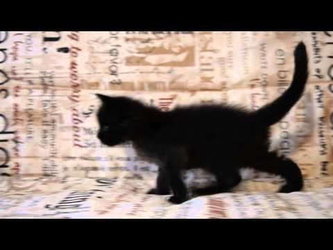 Котята мейн кун - черный солид - 4 месяца